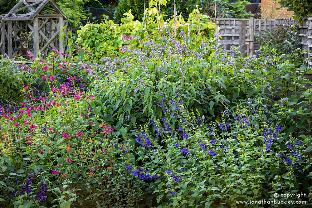 Border with Salvia 'Joan', Salvia 'Phyllis' Fancy' and Salvia guaranitica 'Blue Enigma' AGM