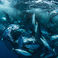 A school of skipjack tuna (Katsuwonus pelamis) are caught in a seine net in Indonesia