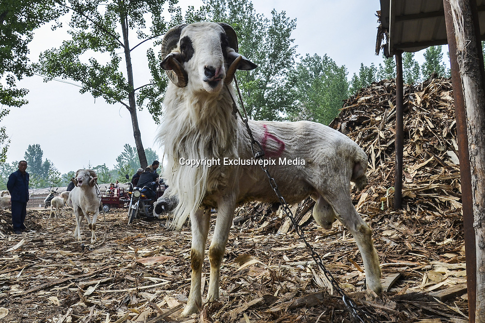 ANYANG, CHINA - APRIL 25: (CHINA OUT) <br /> <br /> A sheep is seen at the sheep-fighting match during the temple fair in Hua County on April 25, 2016 in Anyang, Henan Province of China. About 150 sheep most of which were small-tail han sheep joined the goat-fighting match during the traditional temple fair in Hua County.<br /> ©Exclusivepix Media