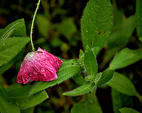 Day old pink poppy flower drooping after the rain. Backyard spring nature in New Jersey. Image taken with a Leica T camera and 55-135 mm lens (ISO 100, 135 mm, f/5, 1/160 sec)