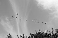 Flock of birds flying over Monterey, CA 10.11.14
