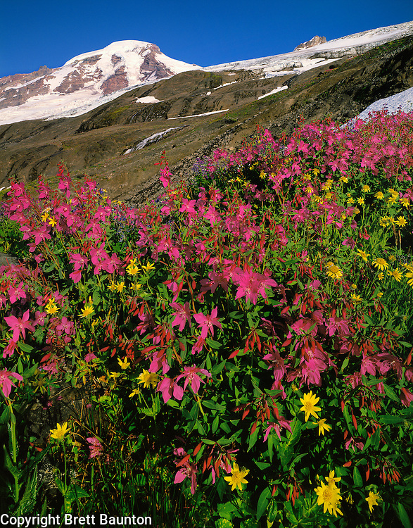 Mt. Baker Wilderness Area, WA, USA..Wildflowers on Heliotrope Ridge..Dwarf Fireweed and Arnica..Waterfalls pouring off Coleman Glacier..North Face and summit of Mt. Baker..© Brett Baunton
