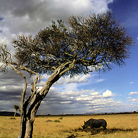 Africa, Kenya, Maasai Mara. A rhino finds shade in the Mara.