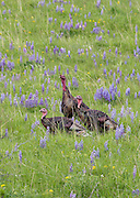 Wild Turkeys in Field of Wildflowers