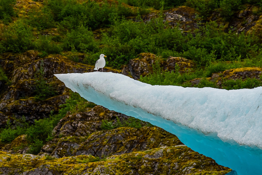 Glaucous-winged gulls on a piece of floating ice, Mendenhall Lake, Juneau, Alaska USA.