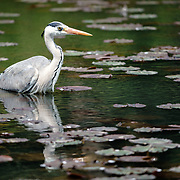 Grey heron (Ardea cinerea) wading among water lilies (Nymphaea sp.) to forage for food