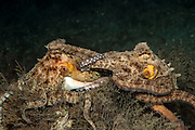 A pair of Common Octopus, Octopus vulgaris, mates in the Lake Worth Lagoon, Singer Island, Florida, United States.