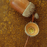 Ripe brown acorn of English oak or Quercus robur tree still in its cup with its stalk and empty cup lying on rusty metal sheet