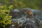 A Siberian chipmunk stops for a brief moment on the top of a rock in the rain in Hokkaido, Japan