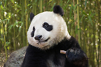 Giant panda, Ailuropoda melanoleuca, portrait while eating, leaning against rock in bamboo grove.