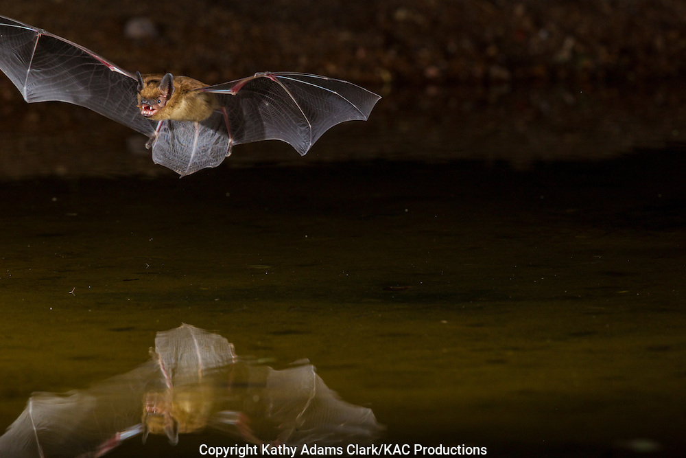 Big Brown bat, Eptesicus fuscus, flying over pond at night, southern, Arizona.