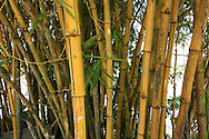 bamboo in colombia