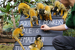 © Licensed to London News Pictures. 02/01/2020. London, UK. A London Zoo keeper counts Squirrel monkeys during the annual stocktake at London Zoo. London Zoo undertakes its annual stocktaking which is carried out at the the start of each year. Every animal in London Zoo is weighed and measured and the statistics is shared with other Zoos across the world. Photo credit: Dinendra Haria/LNP