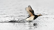 Male Long-tailed Duck (Clangula hyemalis)