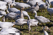 The Snow Geese with brown feathers on their necks and bodies are birds that are less than a year old. They stay with their parents throughout the first winter after hatching.