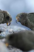 Kea (Nestor notabilis) Arthur's Pass, New Zealand | Kea oder Bergpapagei (Nestor notabilis) - Der Kea lebt in den Gebirgen der Südinsel Neuseelands, den Neuseeländischen Alpen. Dies ist eine Gruppe Jungtiere (zu erkennen am gelben Schnabelansatz) auf der Suche nach Nahrung. Arthur's Pass, Neuseeländische Alpen, Neuseeland.