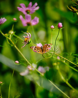 Common Buckeye Butterfly. Image taken with a Fuji X-T2 camera and 100-400 mm OIS lens