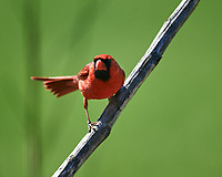 Male Northern Cardinal. Image taken with a Nikon D5 camera and 600 mm f/4 VR lens (ISO 280, 600 mm, f/4, 1/1250 sec).
