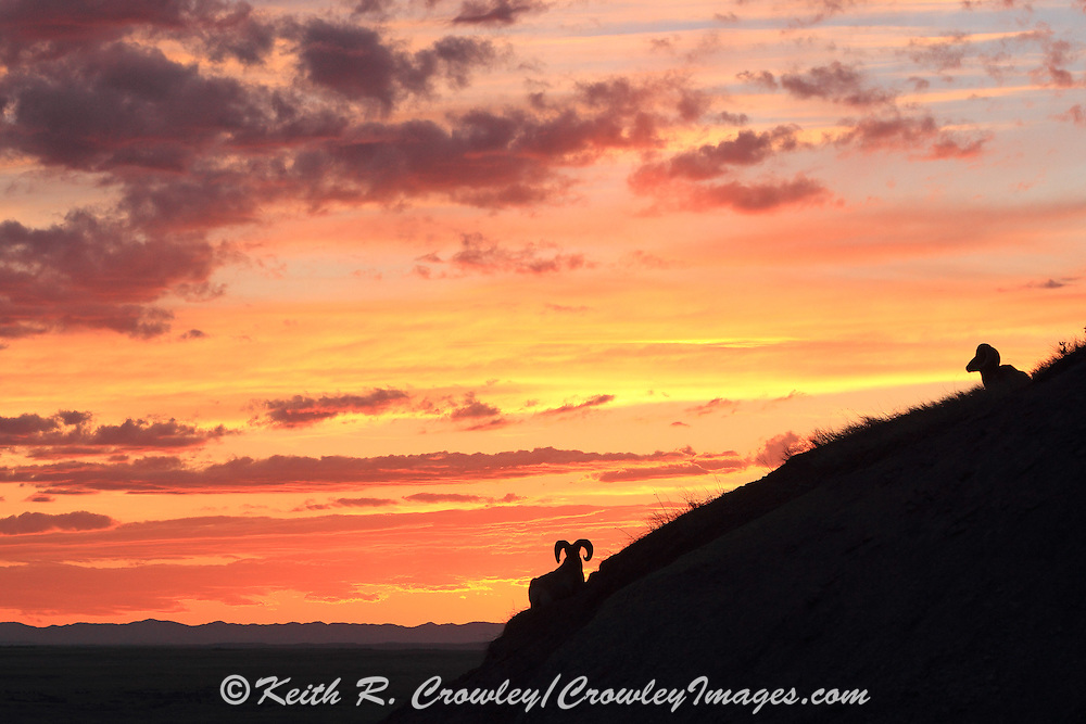 Bighorn Sheep silhouetted against beautiful sunset