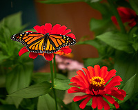Monarch Butterfly on a Red Zinnia Flower. Image taken with a Fuji X-H1 camera and 80 mm f/2.8 macro lens