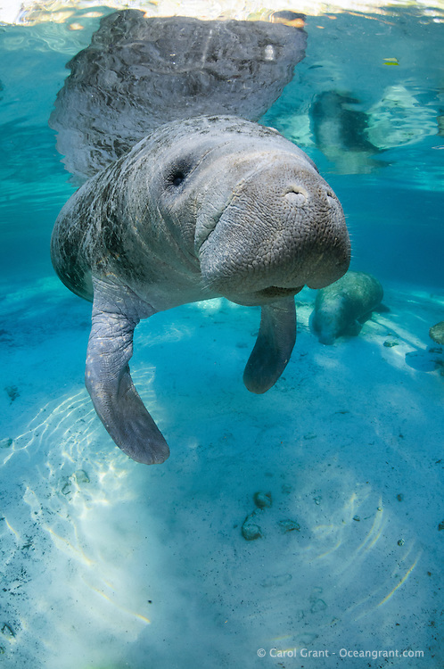 Florida manatee, Trichechus manatus latirostris, a subspecies of the West Indian manatee, endangered. A curious manatee gazes at the viewer with snout, whiskers and its eye prominent. Beautiful sunlight streams in while another manatee rests on the bottom by a warm springhead. Vertical orientation with blue water, reflection and sun rays. Three Sisters Springs, Crystal River National Wildlife Refuge, Kings Bay, Crystal River, Citrus County, Florida USA.