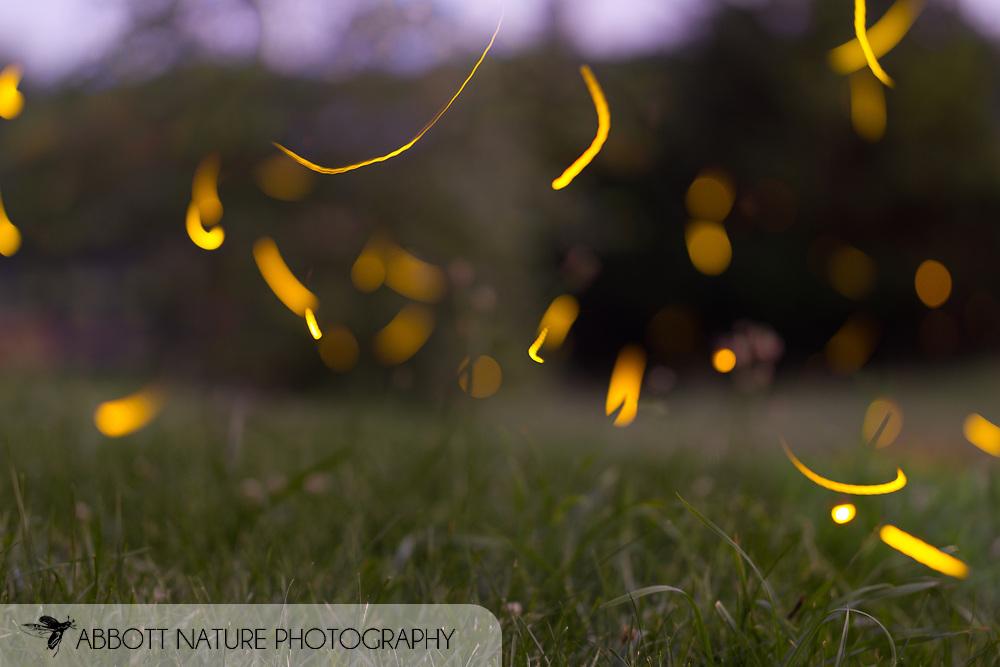 Firefly (Photinus pyralis) in flight at night<br /> KENTUCKY: Jessamine Co.<br /> Nicholasville<br /> 22-Jun-2015<br /> J.C. Abbott #2750 &amp; K.K. Abbott<br /> composite image