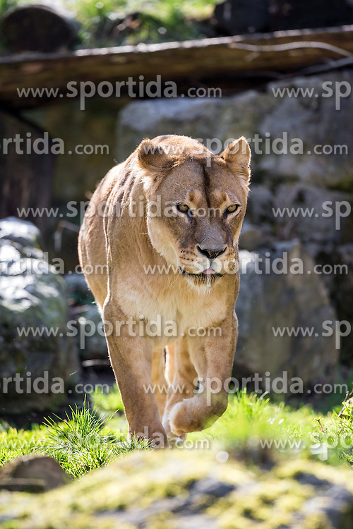 01.04.2016, Zoo, Duisburg, GER, Tiere im Zoo, im Bild weiblicher Loewe streift durch das Gehege // during visit to the Zoo. Duisburg, Germany on 2016/04/01. EXPA Pictures &copy; 2016, PhotoCredit: EXPA/ Eibner-Pressefoto/ Hommes<br /> <br /> *****ATTENTION - OUT of GER*****