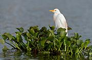 Cattle egret (Bulbulcus ibis) from Lake Naivasha, Kenya.