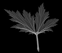 X-ray image of a Chinese anemone leaf duo (Anemone hupehensis, white on black) by Jim Wehtje, specialist in x-ray art and design images.
