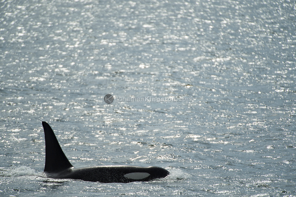 One killer whale (Orcinus orca) swimming in the Pacific Ocean.