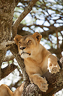 A young lion sits in a tree in the Serengeti National Park. The park is a UNESCO World Heritage Site in Tanzania.