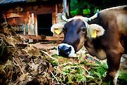 artwork - closeup portrait of a cow