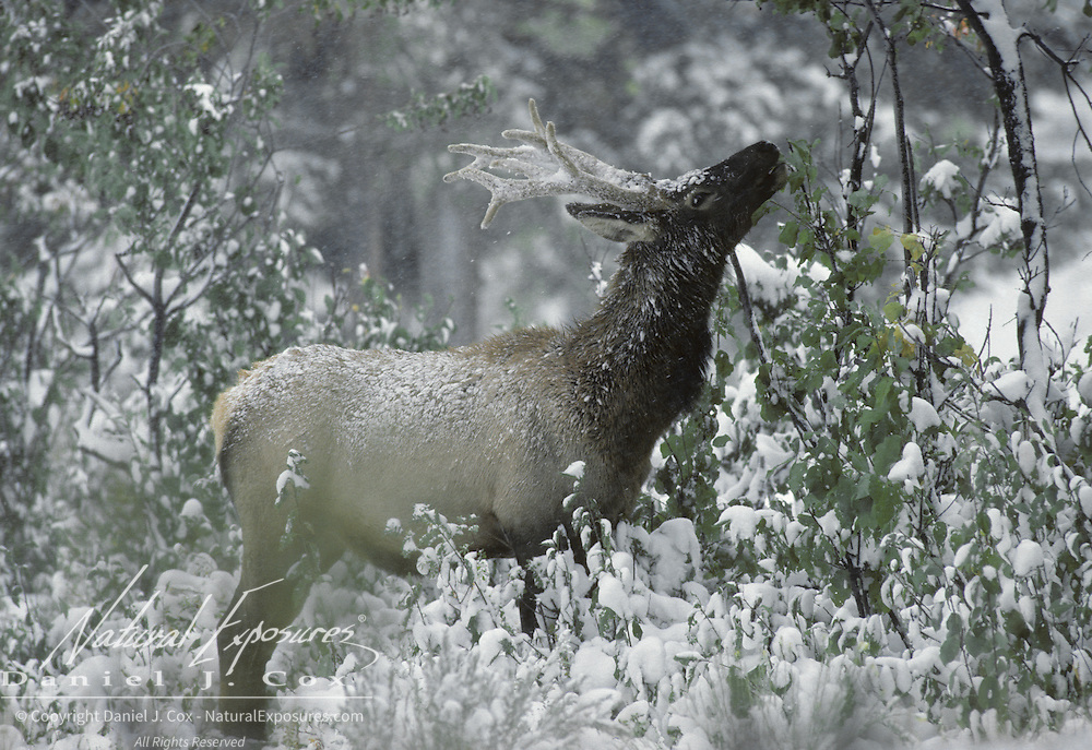 Elk (Cervus canadensis) young bull feeding on leaves in an aspen grove after the first winter snowfall iin Wyoming.