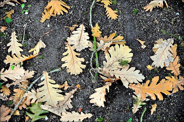 Nederland, Ubbergen, 7-10-2015 Blaadjes liggen op de grond in de herfst. Foto: Flip Franssen/HH