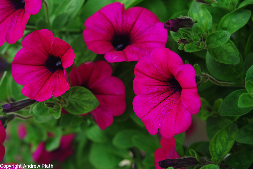 Petunias growing in a hanging basket outside of Culver's Restaurant iin Wausau, WI