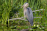 A great blue heron (Ardea herodias) searches for fish in the wetlands of the Washington Park Arboretum in Seattle, Washington.