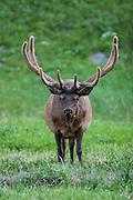 Bull elk during summer with antlers in velvet