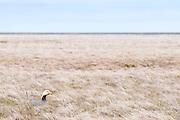 Emperor Goose, Chen canagica, female on nest, Yukon Delta NWR, Alaska