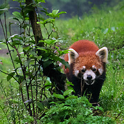 Red panda comin right for us, Chengdu, China (May 2004)