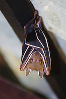 Short nosed fruit bat, Koh Samet, Thailand