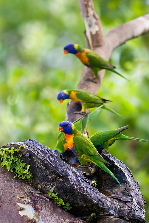 Rainbow Lorikeets perched on a branch above Thala Beach, Port Douglas, Queensland, Australia