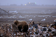 Bear at the Prudhoe Bay oil fields in Alaska. Bear researchers are trying to get the oil industry to clean up the dump, get bear proof dumpsters and warn people not to throw food at the bears in order to try and keep the bears out of camp.