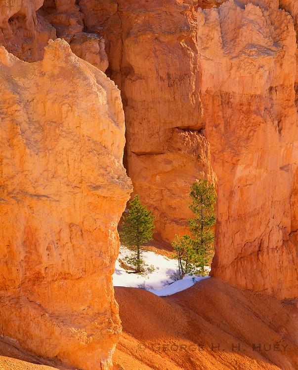 0302-1003C ~ Copyright: George H. H. Huey ~ Ponderosa pines [Pinus ponderosa], winter. Bryce Canyon National Park, Utah.