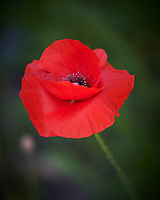 Red Poppy. Image taken with a Nikon Df camera and 300 mm f/4 lens