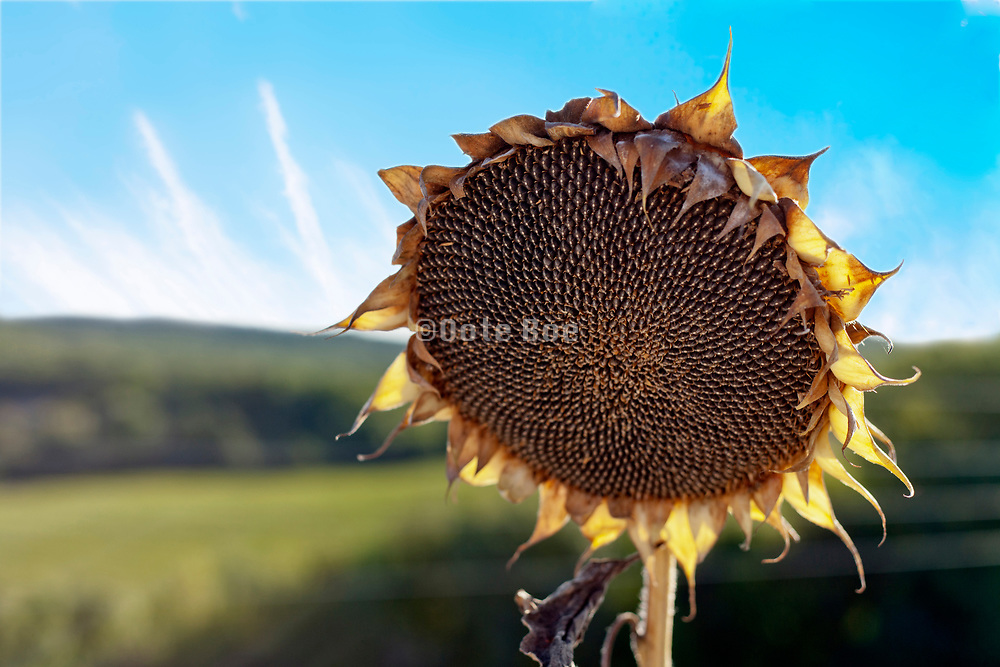 ripe sunflower seed head with rural countryside in the background