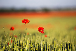 © Licensed to London News Pictures. 30/06/2016. York UK. This sun light's up a field of Poppies near York this morning as Britain prepares to mark the 100th Anniversary of the Battle of the Somme tomorrow. Photo credit: Andrew McCaren/LNP
