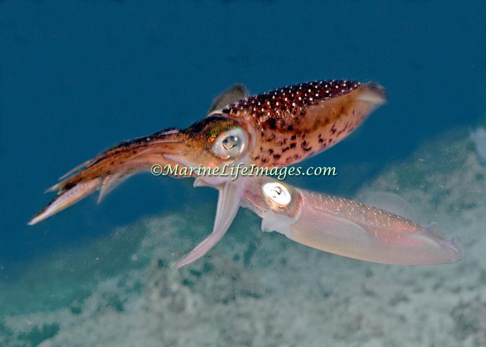2014 Boniaire 8/27 squid