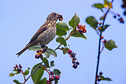 A female house finch (Haemorhous mexicanus) feasts on serviceberries in Snohomish County, Washington.