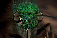 Closeup view of a butterfly's head, eyes, and proboscis..
