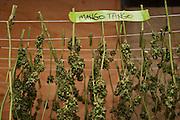 Medicinal marijuana plants being dried.